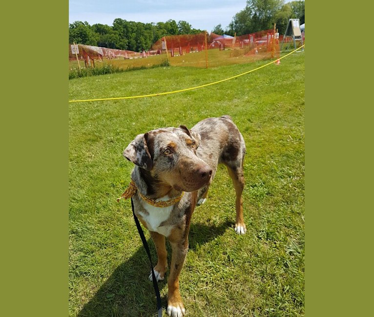 Photo of Cowboy, an Australian Shepherd and Catahoula Leopard Dog mix in Mississippi, USA