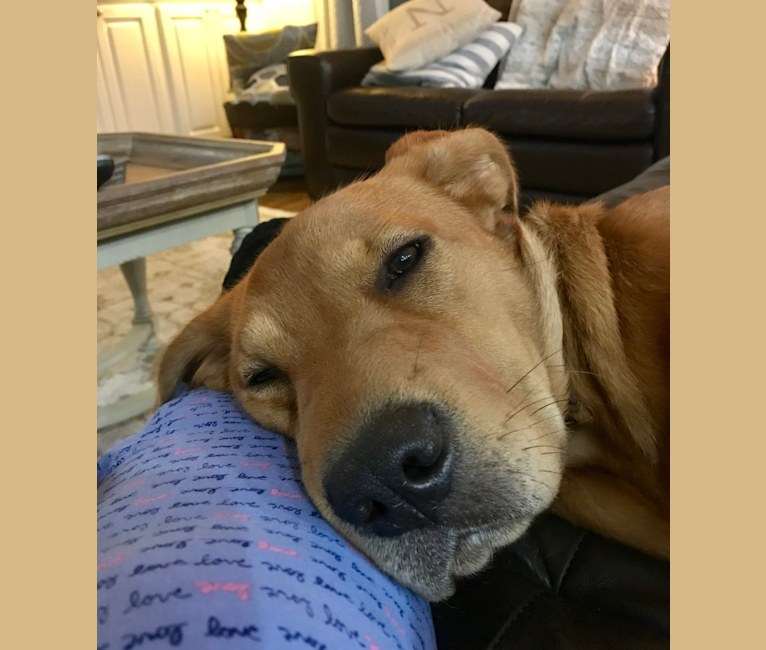 Photo of Phoebe, an American Pit Bull Terrier, German Shepherd Dog, Chow Chow, and Labrador Retriever mix in North Carolina, USA