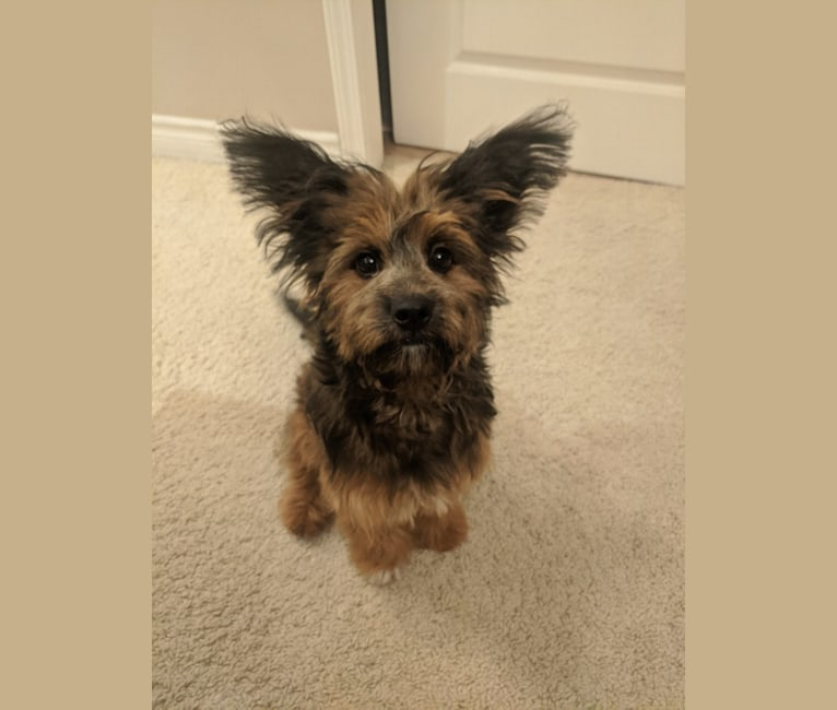Photo of Moose, a Poodle (Small), Chihuahua, Pekingese, Pomeranian, and Mixed mix in Riverside, California, USA