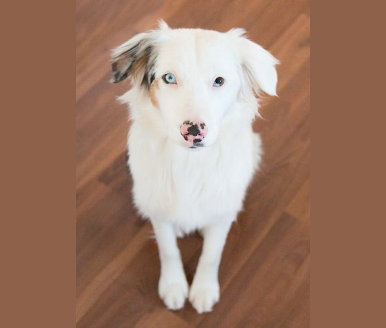 Photo of Kiva, an Australian Shepherd Group  in Calgary, Alberta, Canada