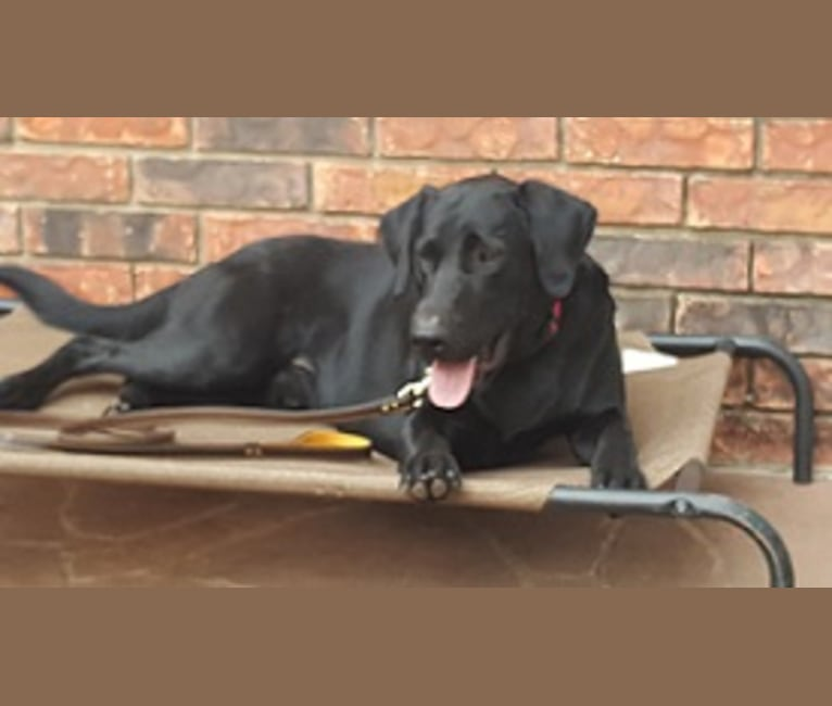 Photo of Judge, a Labrador Retriever  in Leonard, TX, USA