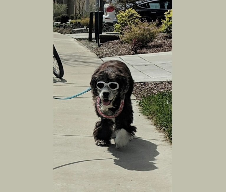 Photo of JD, a Cocker Spaniel, Lhasa Apso, and Brittany mix in Danville, California, USA