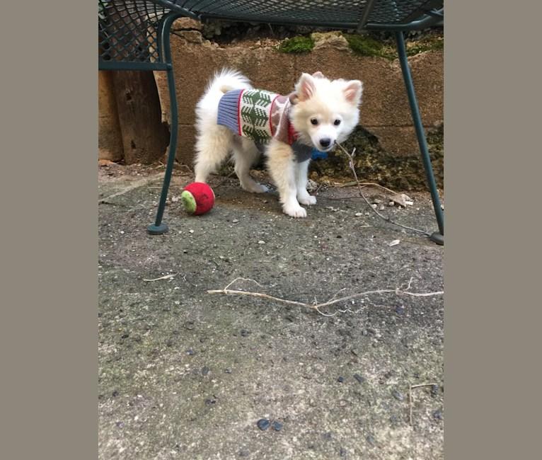 Photo of Charlie, an American Eskimo Dog  in New York, USA