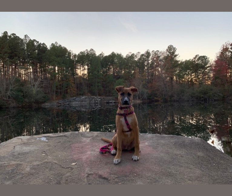 Photo of Brownie, an American Pit Bull Terrier, German Shepherd Dog, Great Pyrenees, and Great Dane mix in Georgia, USA