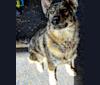 Photo of Riley, a German Shepherd Dog, Siberian Husky, and Alaskan Malamute mix in Ogden, Utah, USA