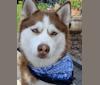 Photo of Runa, a Siberian Husky  in Dryden, MI, USA