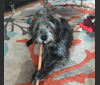 Photo of Wizard, a Miniature Schnauzer, Poodle (Small), Miniature Pinscher, Chihuahua, and Chow Chow mix in Austin, Texas, USA