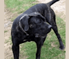 Photo of Malibu from Tigerguard Kennels, a Perro de Presa Canario and Neapolitan Mastiff mix in Mechanicsville, MD, USA