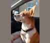 Photo of Farah, a Chihuahua, American Pit Bull Terrier, and Chow Chow mix in San Antonio, Texas, USA