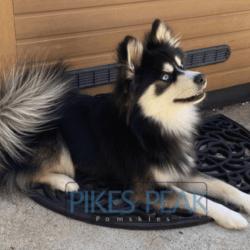 Pikes Peak Pomskies' Rush