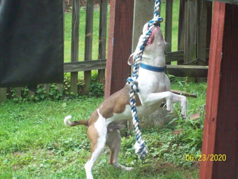 Photo of Ezekiel Kidon OGK Chociej {Service Dog}, an American Pit Bull Terrier  in Upton, KY, USA