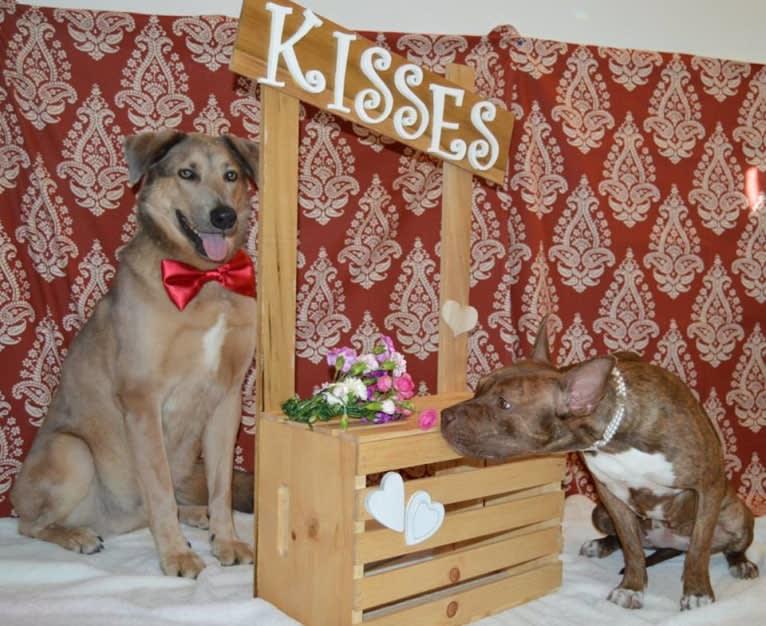 Photo of Walter, a German Shepherd Dog, Akita, Australian Shepherd, American Pit Bull Terrier, and Australian Cattle Dog mix in Arizona, USA