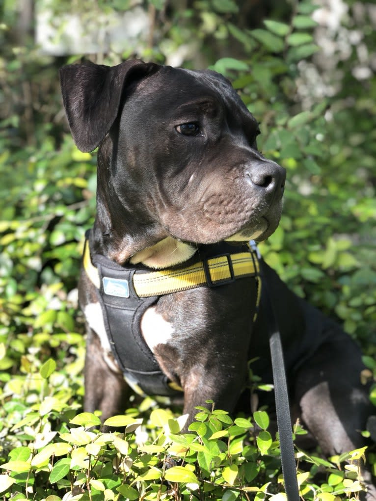 Photo of KOBA, an American Bully  in San Antonio, Texas, USA