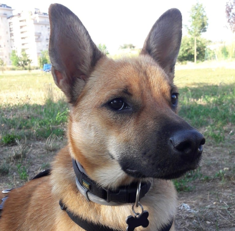 Photo of Kei, a German Shepherd Dog, Chow Chow, Chihuahua, Russell-type Terrier, and Mixed mix in Milano, Lombardia, Italia