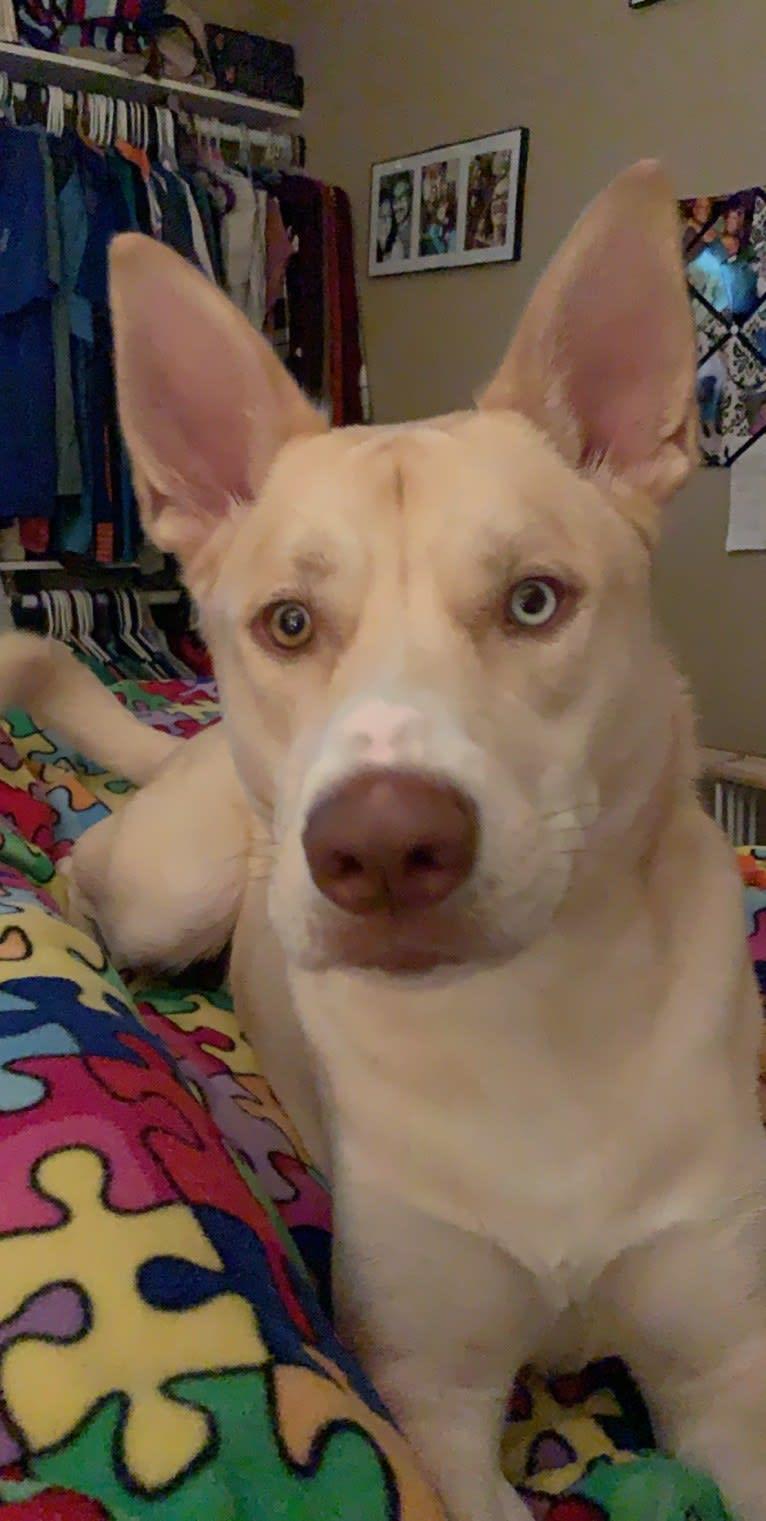 Photo of Jax, a Siberian Husky and American Pit Bull Terrier mix in Jackson, South Carolina, USA