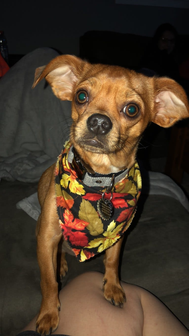 Photo of Oso, a Chihuahua, Dachshund, Miniature Pinscher, and Mixed mix in Chilton, Wisconsin, USA
