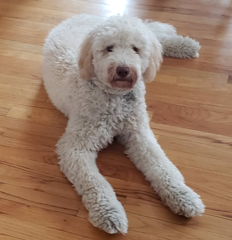 Photo of Orie, a Goldendoodle  in Peculiar, MO, USA