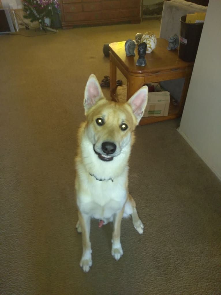 Photo of Outlaw, a Siberian Husky, Belgian Malinois, German Shepherd Dog, and Mixed mix in San Diego, California, USA