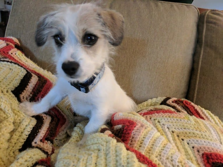 Photo of buddy, a Chihuahua, Poodle (Small), Dachshund, and Mixed mix in Bakersfield, California, USA