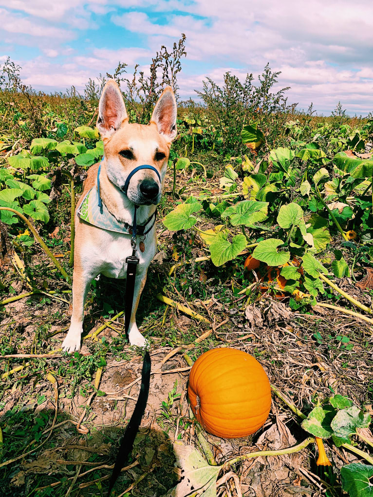 Photo of Otis, an American Bully, Chow Chow, and German Shepherd Dog mix in New Mexico, USA