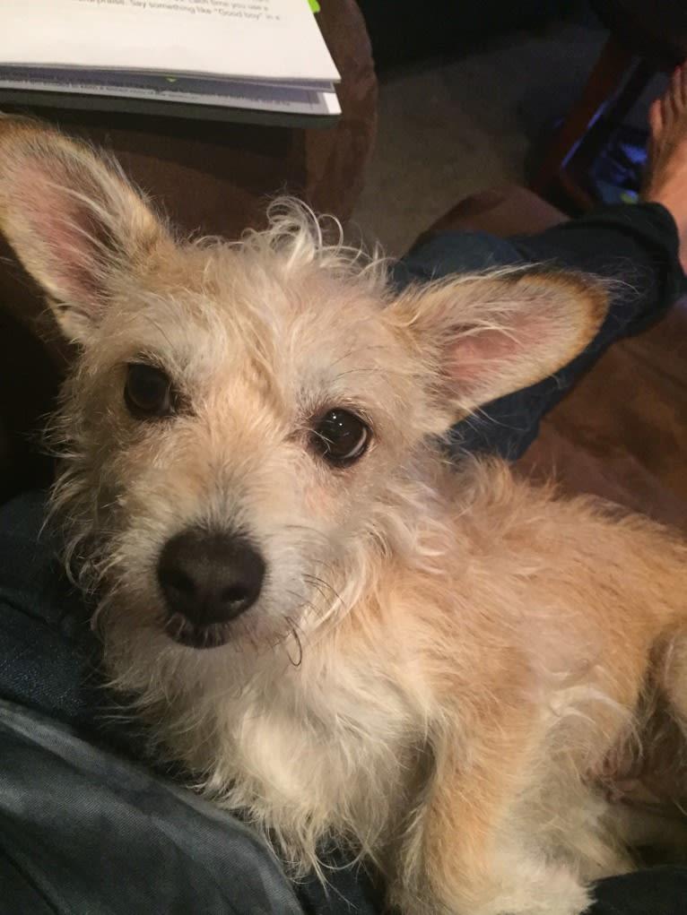 Photo of Mazie, a Rat Terrier, Miniature Schnauzer, and Mixed mix in Schaumburg, Illinois, USA