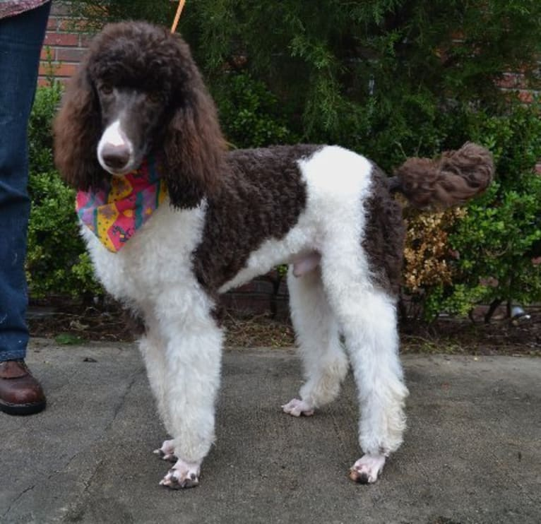 Photo of Guiness, a Poodle  in Garrettsville, OH, USA