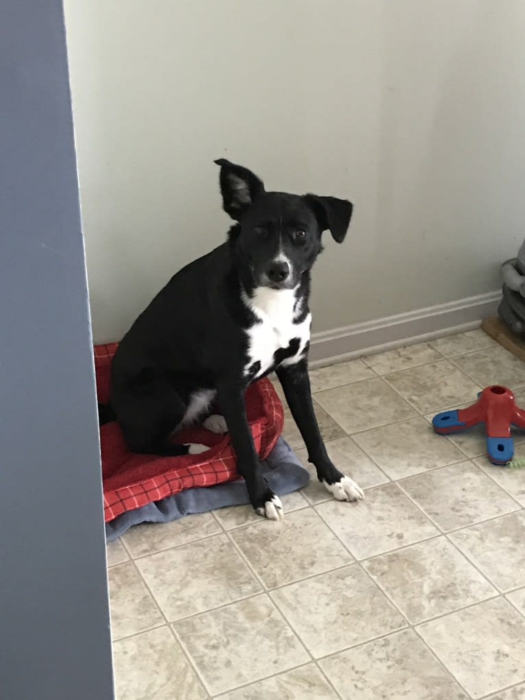 Photo of Olly, an American Pit Bull Terrier, Siberian Husky, Collie, German Shepherd Dog, and Mixed mix