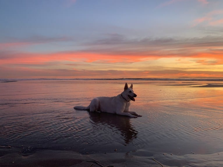 Photo of Bella, a German Shepherd Dog  in California, USA