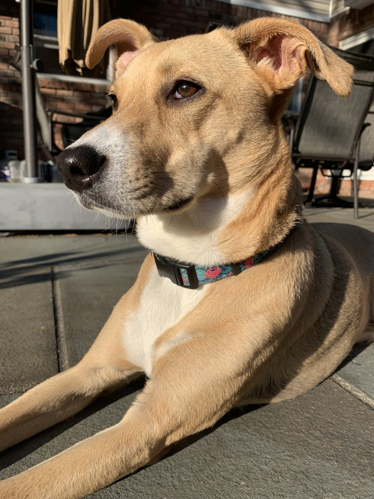 Photo of Dixie, a Rottweiler, Redbone Coonhound, Australian Cattle Dog, American Bulldog, and Mixed mix in Texas, USA