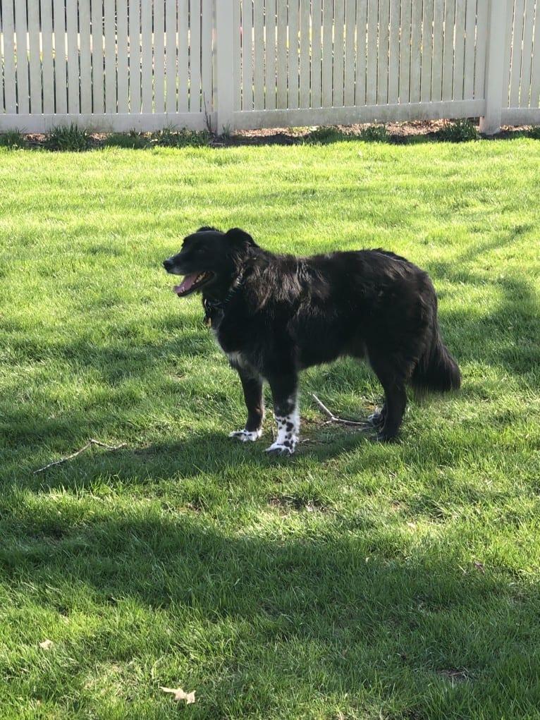 Photo of Denver, a Border Collie, Labrador Retriever, Chow Chow, and Rottweiler mix in Circleville, Ohio, USA
