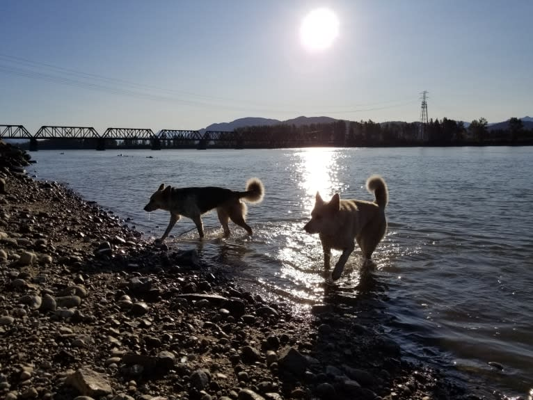 Photo of Sterling, a German Shepherd Dog, Alaskan Malamute, Bouvier des Flandres, Samoyed, and Siberian Husky mix in Squamish, British Columbia, Canada
