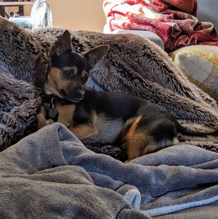 Photo of Maxwell, a Chihuahua, Poodle (Small), Maltese, and Mixed mix in Hayward, California, USA