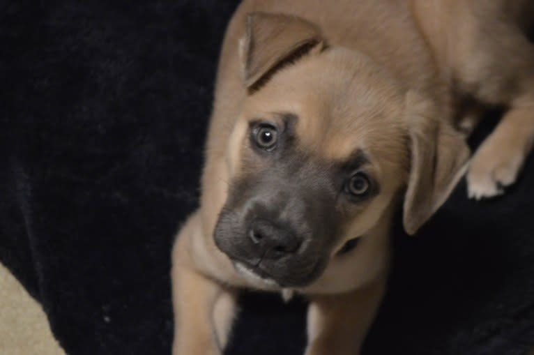 Photo of Indy, an American Pit Bull Terrier, German Shepherd Dog, Great Pyrenees, and Mixed mix in Kentucky, USA