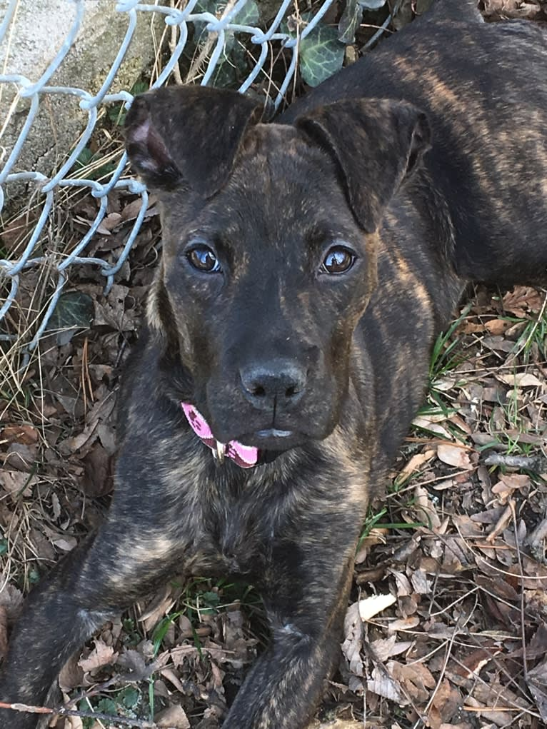 Photo of Parker, a Boxer, Chow Chow, and American Pit Bull Terrier mix in Mississippi, USA