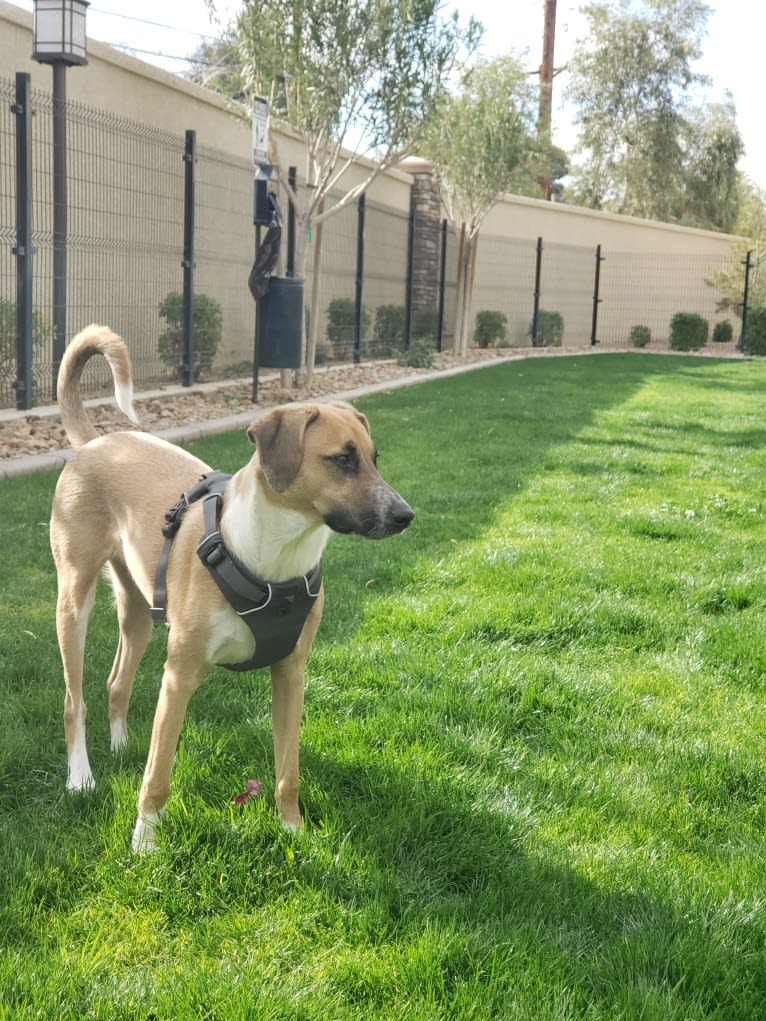 Photo of Max, a Treeing Walker Coonhound, American Pit Bull Terrier, Chow Chow, Australian Cattle Dog, and Mixed mix in Phoenix, Arizona, USA
