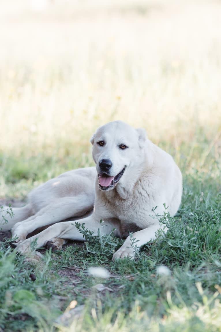Photo of Nala, an Anatolian Shepherd Dog