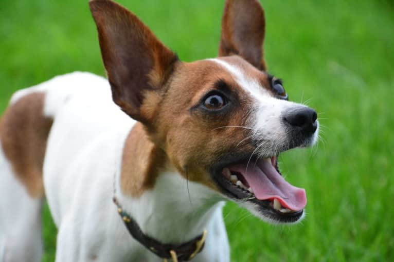 Photo of Delilah, a Russell-type Terrier and Rat Terrier mix in Richmond, Vermont, USA