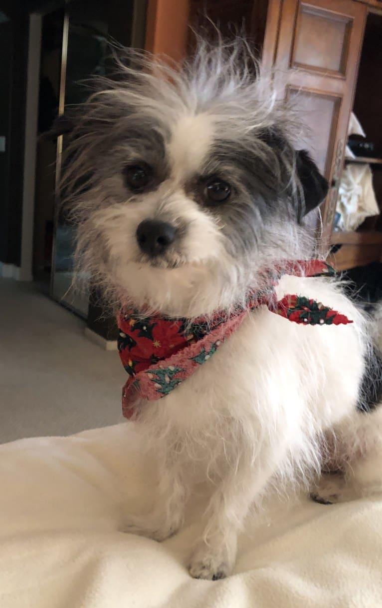 Photo of Sherlock, a Chihuahua, Maltese, and Poodle (Small) mix in Carlsbad, California, USA