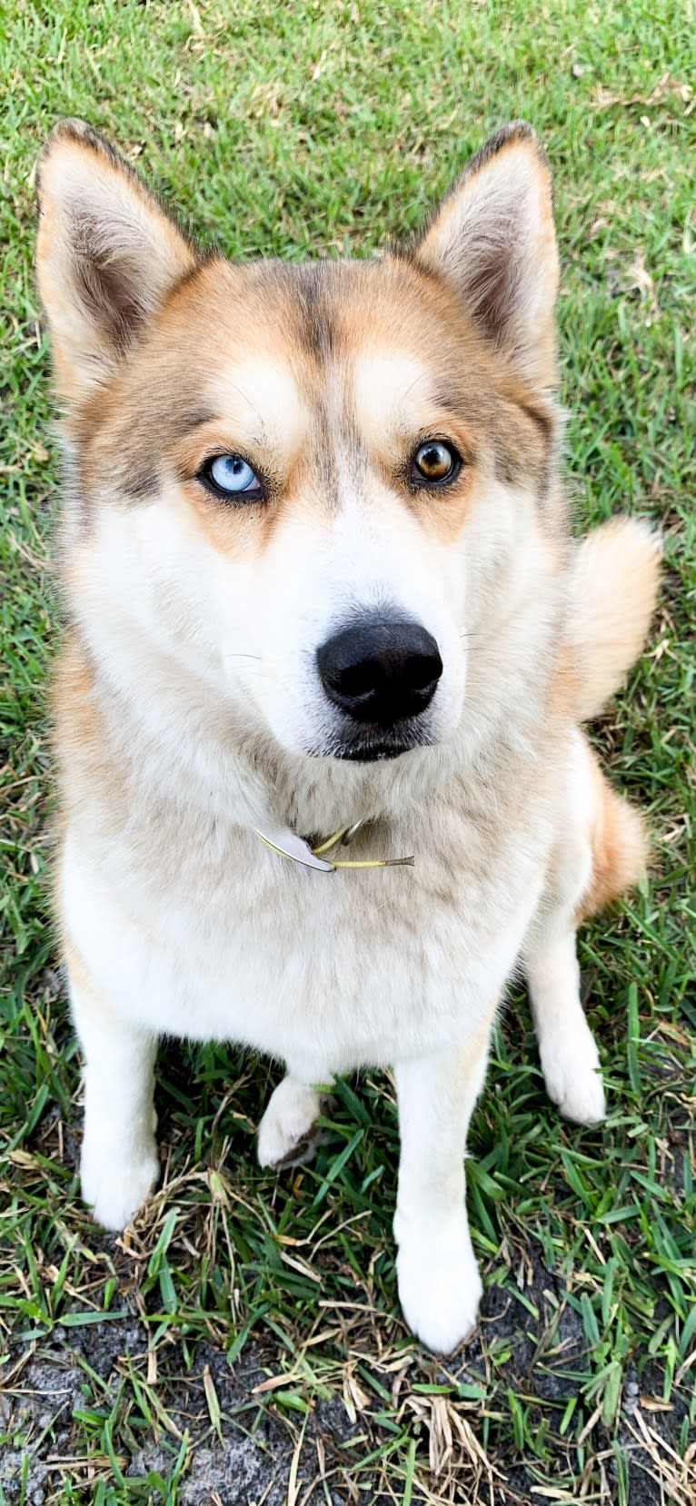 Photo of Yuma, a Siberian Husky  in Salisbury, NC, USA