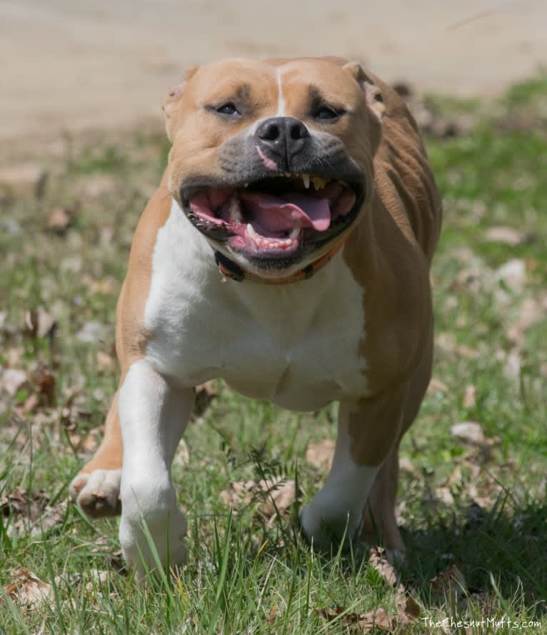 Photo of Fezzik, an American Staffordshire Terrier  in Dallas, Georgia, USA
