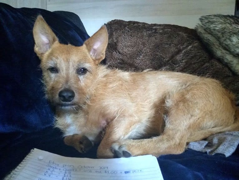 Photo of Rosko, a Chihuahua, Australian Cattle Dog, Yorkshire Terrier, Russell-type Terrier, and Chow Chow mix