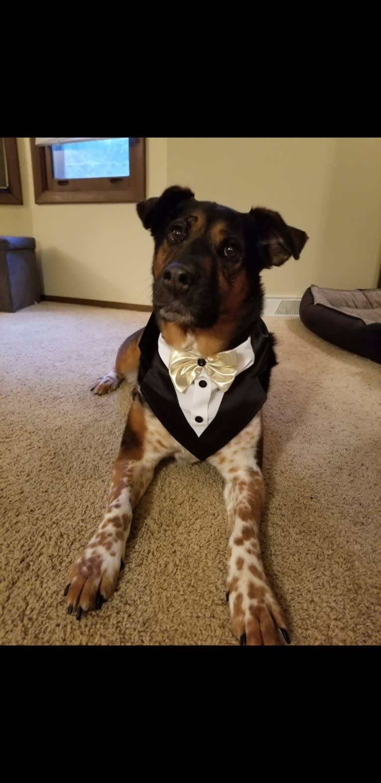 Photo of T, a Rottweiler and Samoyed mix in Grand Rapids, Michigan, USA