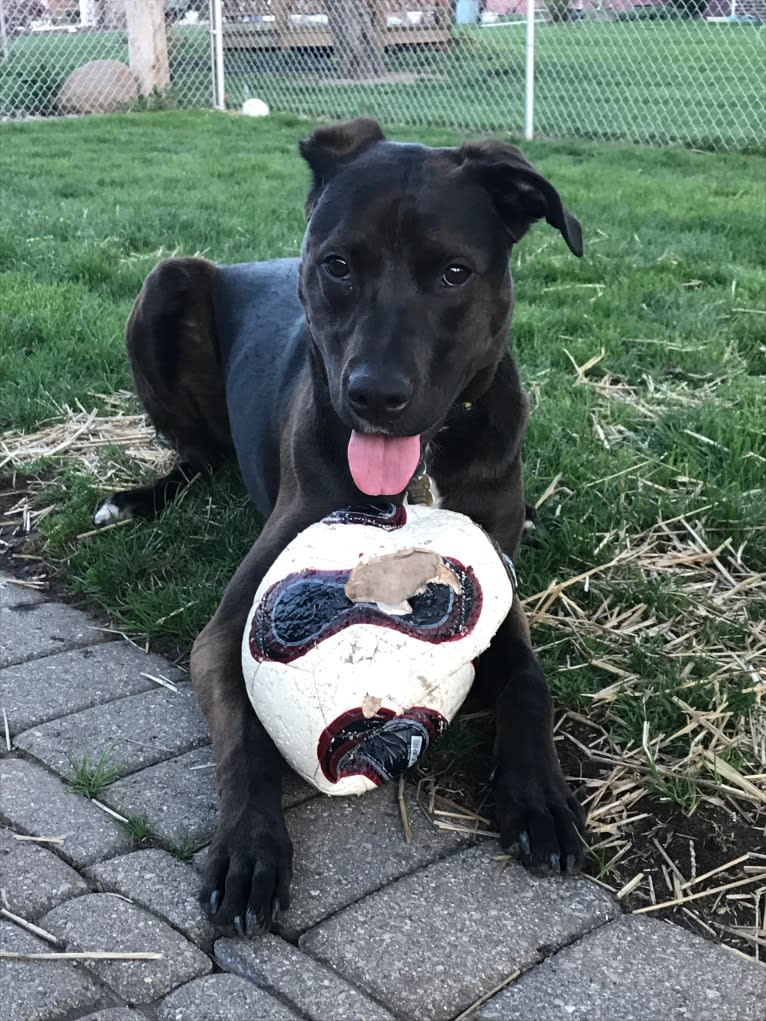 Photo of Axel, a Staffordshire Terrier, Rottweiler, and German Shepherd Dog mix in Dearborn Heights, Michigan, USA