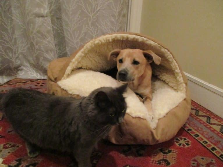 Photo of maxx, a Labrador Retriever, Boxer, Golden Retriever, German Shepherd Dog, American Staffordshire Terrier, Chow Chow, and Mixed mix in Georgia, USA
