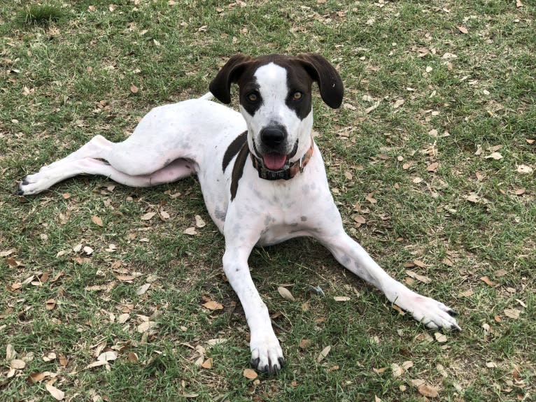 Photo of Millie, an American Pit Bull Terrier, Treeing Walker Coonhound, and Mixed mix in San Antonio, Texas, USA
