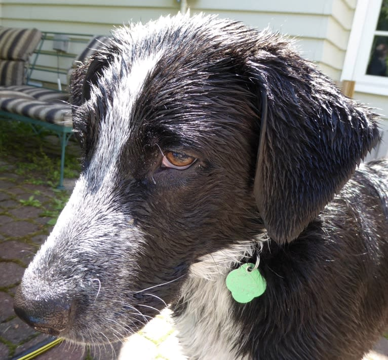 Photo of Basil, a Great Pyrenees, Pointer, and Maremma Sheepdog mix in Nerstrand, Minnesota, USA