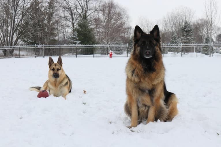 Photo of Maya, a German Shepherd Dog  in Indiana, USA