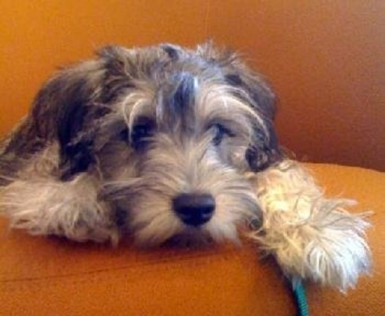 Photo of Lucky, a Miniature Schnauzer  in Florida, USA