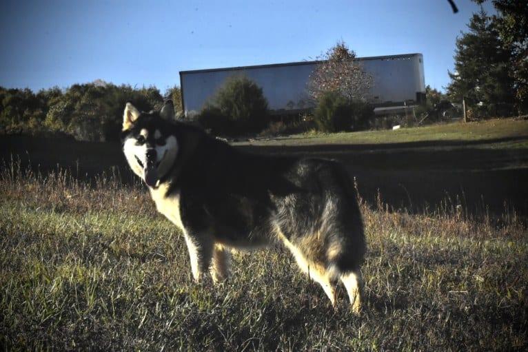 Photo of Tess, an Alaskan Malamute  in Illinois, USA