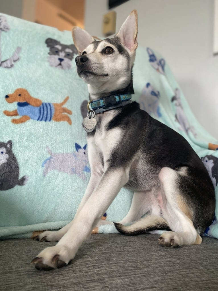 Photo of Turtle, a Chihuahua, Rat Terrier, American Eskimo Dog, Pomeranian, and Mixed mix in Alabama, USA